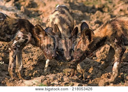 African Wild Dogs- Painted Dogs (Lycaon pictus )- Puppies feeding on a recent kill in South Luangwa National Park Zambia