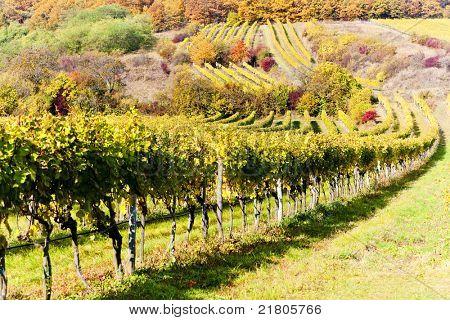 autumnal vineyards in Retz region, Lower Austria, Austria poster