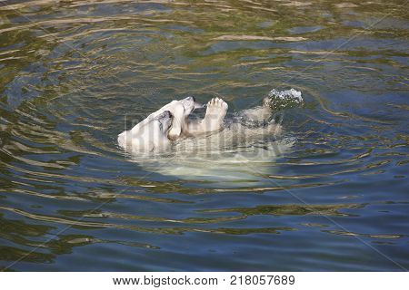 Polar bear playing with his cub on the water. Wildlife