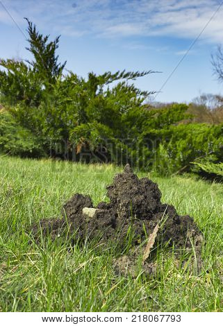 Moleht hummock on the lawn. The mole destroys the lawns.