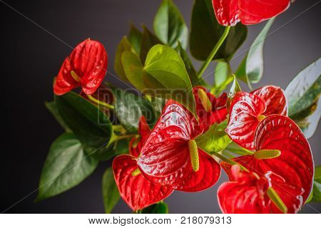 A picture on top of a house plant Anthurium can be used to illustrate the content of the care and growing of domestic plants.