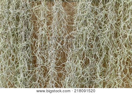 Spanish Moss or Tillandsia usneoides plant for background.
