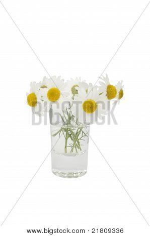 Leucanthemum vulgare in a small vase