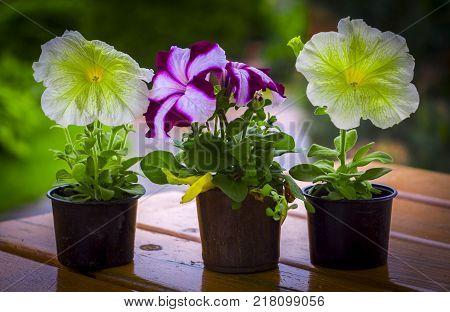 Seedlings in the spring on the terrace. Flower seedling. Petunia seedlings Picobella Cascade Petunia.