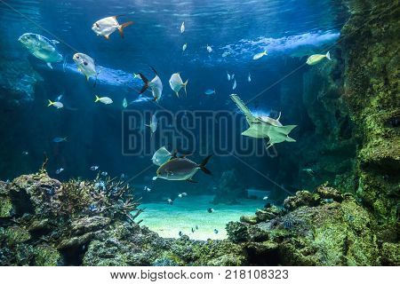 Large sawfish, also known as carpenter shark, and other fishes swimming in a large aquarium