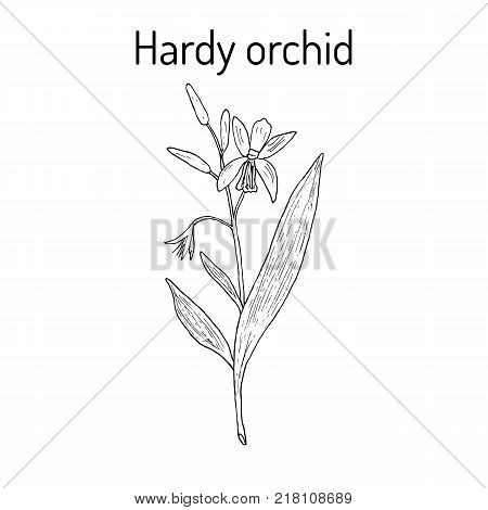 Hardy, or hyacinth orchid Bletilla striata , medicinal plant. Hand drawn botanical vector illustration