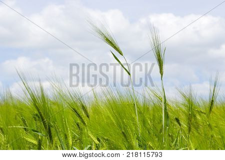 Wild barley field in a sunny and windy day, plant shaken, clouds on blue sky, selective focus