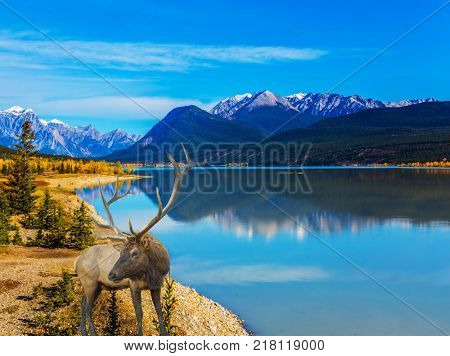 Fantastic magnificent deer on the bank of Lake Abraham. Indian Summer in the Rockies of Canada. Concept of ecological and active tourism