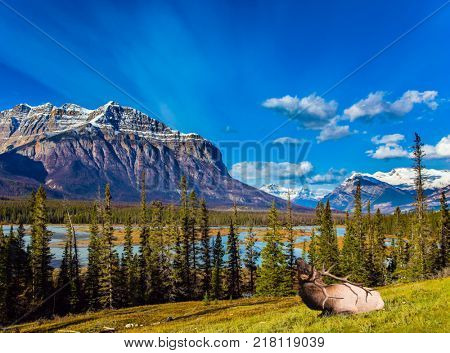 The Rockies of Canada. Concept of ecological and active tourism. Noble Canadian deer with branched horns rest on the shore of Abraham Lake