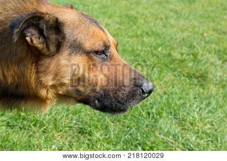 The head of a dog shepherd on the background of the green grass