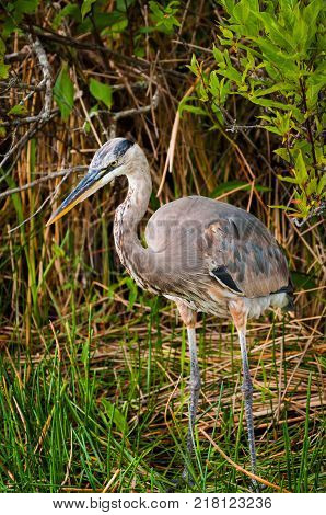 Great Blue Heron standing on a marsh in Everglades Florida