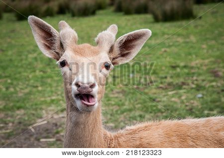 Head of a young deer with funny face