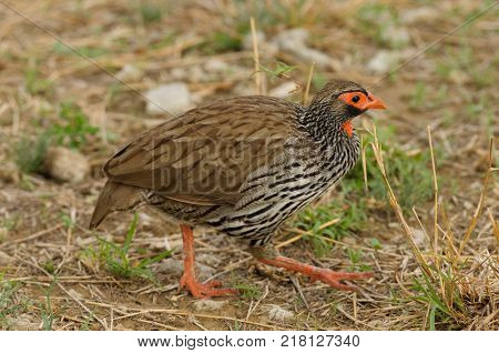 Red-necked Spurfowl or Red-necked Froncolin (pternistis afer or Froncolinuus afer) hunting for food in Tarangire national Park