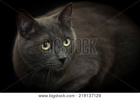 Chartreux house cat portrait shot, isolated on black background
