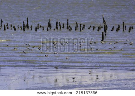 a flock of birds that live in wetland area near the sea