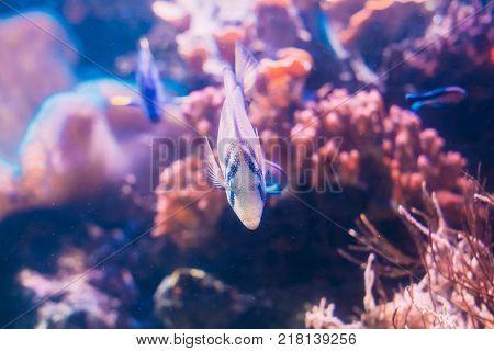 Kole Tang Or Spotted Surgeonfish Or Goldring Surgeonfish Or Yellow-eyed Tang Fish Ctenochaetus Strigosus Swimming In Water.