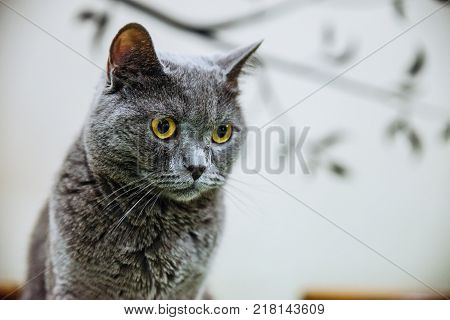 portrait of beautiful grey with yellow eyes cat indoor