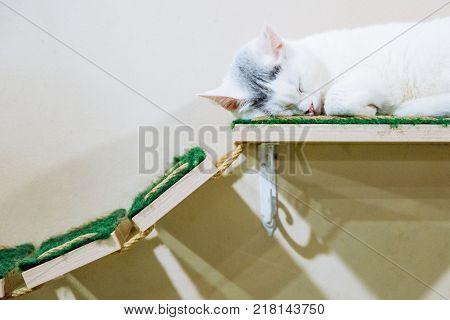 portrait of beautiful white cat sleeping on shelf indoor