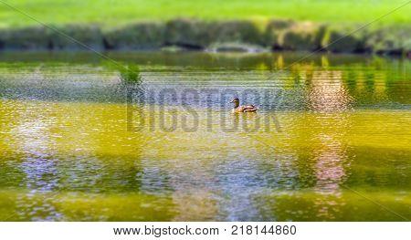 Wild Ducks Swimming In A Pond