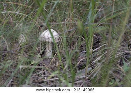 mountain grisette agaric with white cap which begins eaten by insects from one side