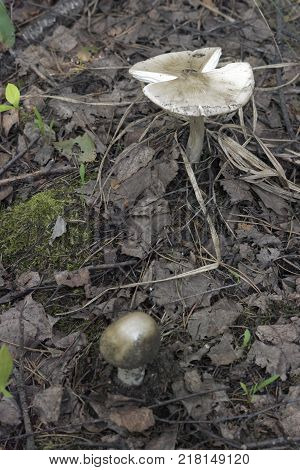 mushrooms commonly known as grisette in deciduous forest among wilted leaves