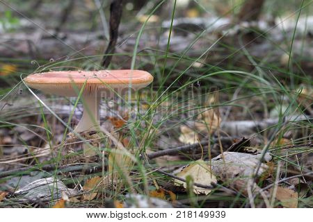 orange fly agaric with fluffy ringlet on white thick stem and flat cap