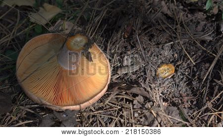 sand lizard next to overturned red pine mushroom