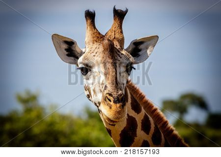 A beautiful curious Rothschild giraffe looking directly into the camera during a sunset safari in the Murchison nation park in Uganda.