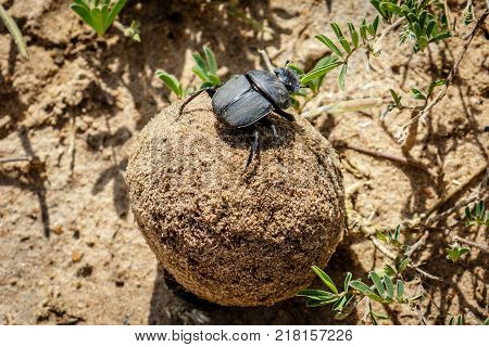 Ball of excrement rolled by a male dung beetle on the sand ground in the Murchison Falls National Park, Uganda in Africa. The female dung beetle is sitting on top and is enjoying the ride