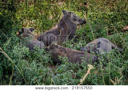 Two warthog lying in a mud pool and enjoying a sun bath in Murchison Falls national park in Uganda. Too bad this place, lake Albert, is endangered by oil drilling companies