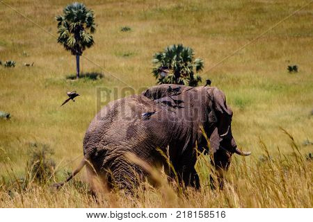 A group of birds landing on the back of a big male elephant in Murchison Falls national park in Uganda. Too bad this place, lake Albert, is endangered by oil drilling companies
