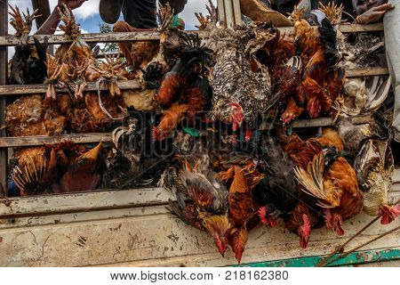 KAMPALA, UGANDA - NOVEMBER 10, 2017: Transporting alive chicken on the road to Kampala Uganda. This is very cruel as the chicken are still alive and the truck is driving 80km/h