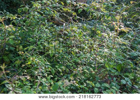 Bush of brambles covered with dew on a sunny day