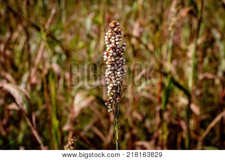 Close up of a Sorghum plant nearby Mbale in Uganda. Sorghum is a genus of flowering plants in the grass family Poaceae.
