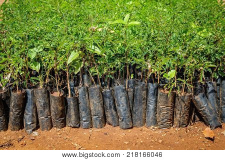 Tree planting Uganda, close up of many small seedlings.