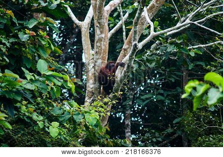 Female Bornean orangutan sit on a tree branch. Borneo. Malaysia.