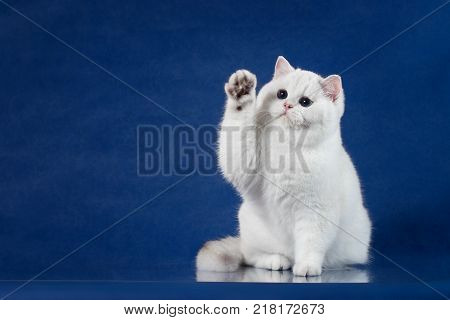 British white shorthair playful cat with magic Blue eyes put his paw up, like saying Hello. Britain kitten sitting on blue background with reflection, copy space for text