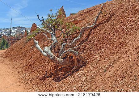 Gnarled Tree Along a Canyon