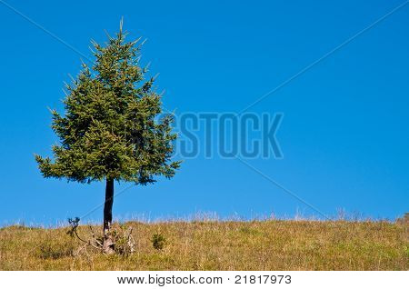 Single Fir And Blue Sky