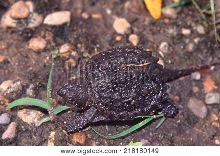 Snapping Turtle (Chelydra serpentina) hatchling searching for water in Illinois