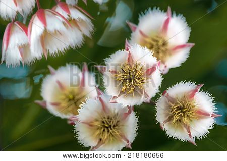 Fairy Petticoats in bloom. Stamens with weird shape filaments. Sperm-like filaments swimming around stigma. Petticoat or underskirt shape. Toothed and creamy white petal with pinkie red sepals.