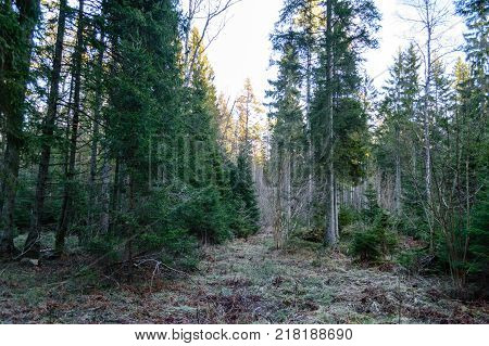 Clear Morning In The Woods. Spruce And Pine Tree Forest With Trunks In Summer