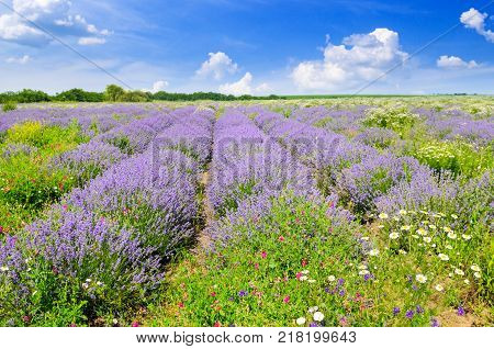 Blooming lavender in a field on a background of blue sky. Shallow depth of field. Focus on the foreground.