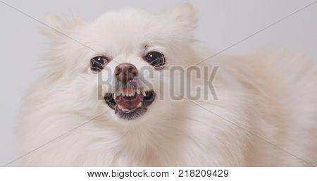 Angry Pomeranian dog