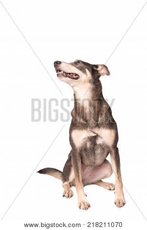 Portrait Photo Of An Adorable Mongrel Dog Isolated On White