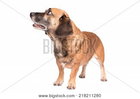 Mongrel Dog Stretching On White Background