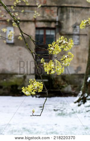 Sudden snow covers blooming trees and grass on backyard. Close up view on tree branch with flowers.