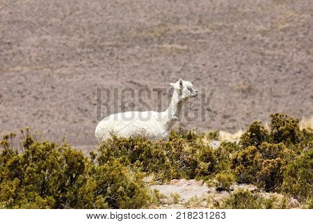Alpaca in Andes Mountains Peru South America