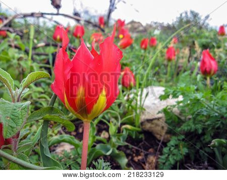 A Tulip Tulipa Agenensis Flower Blooming In A Green Field At The Middle Of The Winter
