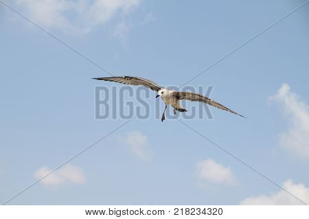 Bird fly on blue sky. sky background. Gorgeous Flight of bird with Blue sky. Seagull hovers on deep blue air. Gull hunting down fish. Flying gull chick. Gullchick Flies over Expanse air